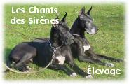 Elevage de DOGUES ALLEMANDS : Les Chants des Sir�nes